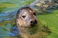 Cheeky Seal At Gweek Royalty Free Stock Photography