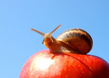 Cheeky snail. On an apple, Italy Royalty Free Stock Photography