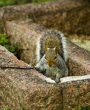 Cheeky squirrel. A squirrel looking up from between stones stock image