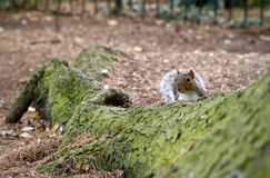 Cheeky squirrel peeking  Royalty Free Stock Photography