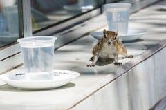 Cheeky striped palm squirrel Stock Photos