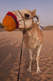 Cheeky Tied up Camel Stock Images