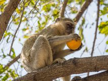 Cheeky vervet monkey or Chlorocebus pygerythrus sitting in tree and eating stolen orange, Kaokoveld, Namibia, Africa Royalty Free Stock Photos