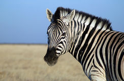Cheeky zebra Royalty Free Stock Photo