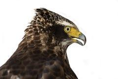 Cheela crestato di Eagle Spilornis del serpente, rapaci Fotografia Stock Libera da Diritti