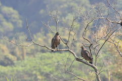 Cheela di Spilornis (Uccelli di Taiwan) Fotografie Stock