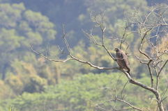 Cheela di Spilornis (Uccelli di Taiwan) Immagine Stock Libera da Diritti