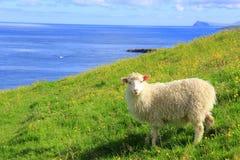 Cheep at Faroe Islands Stock Image