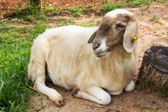 Cheep in meadow. Cute lamb lying down in meadow Stock Photos