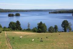 cheeps пася озеро ivo стоковые изображения rf