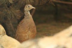 Cheer pheasant Stock Photo