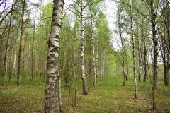 Cheer young birch in the wind. In the forest it is easy to breathe, and every twig can touch you while walking. The forest can feed people with its gifts royalty free stock photo