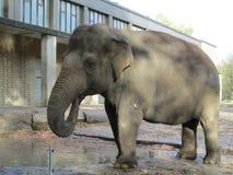 Cheerfful好大象饮用水 图库摄影