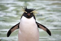 Cheerful. Photo of a Southern Rockhopper Penguin (Eudyptes Chrysocome stock image