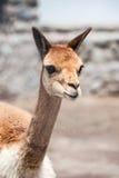 Cheerful Adorable Vicunia Looking At The Camera, Peru Stock Image