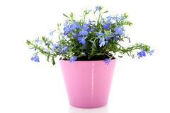Cheerful blue Lobelia Stock Photo