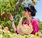 Cheerful brunette picking fruits Royalty Free Stock Image