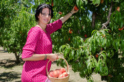 Cheerful brunette picking fruits Royalty Free Stock Photos