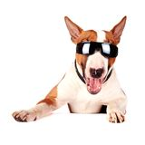 Cheerful bull terrier in sunglasses Stock Photo