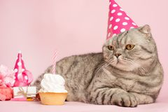 Cheerful cat in a cap and a cupcake celebrates a birthday, on a pink background royalty free stock photos