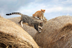 Cheerful cats playing on hay Royalty Free Stock Image