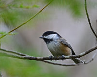 Cheerful black-capped chickadee Stock Photography