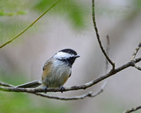 Cheerful black-capped chickadee Stock Photo