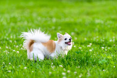 Cheerful chihuahua dog  on meadow Royalty Free Stock Photography