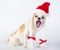 Cheerful Chihuahua dog wearing Santa Claus hat Royalty Free Stock Image