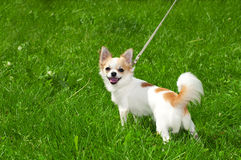 Cheerful Chihuahua inviting in summer day Stock Images