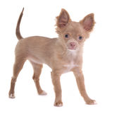Cheerful chihuahua puppy looking at camera Royalty Free Stock Photography