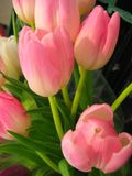 Cheerful colors of pink tulips Stock Image