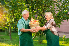 Cheerful couple and apple basket. Seniors in the garden smiling. Always help each other Royalty Free Stock Photo