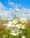 Cheerful Daisies. Wild daisies growing in bright sunshine against a blue sky Stock Photo
