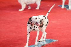 Cheerful Dalmatian on red circus arena Stock Photo