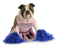 Cheerful dog. English bulldog dressed up like a cheerleader with pompoms Stock Photography