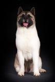 Cheerful dog breed Akita inu Royalty Free Stock Image