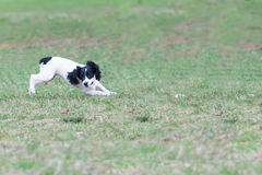 The cheerful dog joyfully runs on a grass Stock Photos