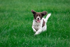 Cheerful dog running with ears erected and showing tongue. A cheerful dog runs in a green lawn. His ears are erect and his tongue comes out of his mouth royalty free stock photography