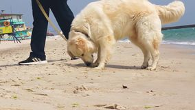Walk with a dog. Cheerful dog runs to the water on a sea shore sand beach on summer weekend, walk with a dog stock video footage