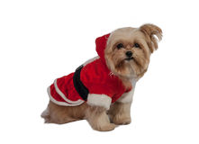 Cheerful Dog in Santa Dress Royalty Free Stock Images