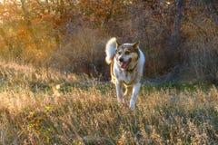 Cheerful dog on a walk. Cheerful dog walking in the setting sun stock photos