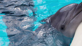 Cheerful Dolphin In The Pool. Cheerful dolphin in the dolphinarium stock video