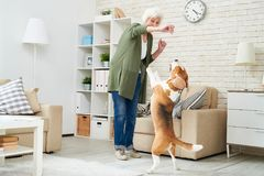 Excited senior woman training dog at home. Cheerful ecstatic modern senior woman in casual clothing holding dogs treat while training Beagle dog at home, pet royalty free stock photo