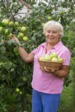 Cheerful elderly woman collecting apples in the garden Royalty Free Stock Photo