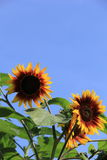 Cheerful faces of sunflowers,set against periwinkle blue skies Royalty Free Stock Photos