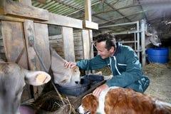 Cheerful farmer petting cows Royalty Free Stock Image