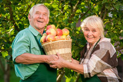 Cheerful gardeners holding apple basket. Senior women and men smiling. Generation of hard-working Royalty Free Stock Photography