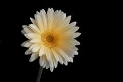 Cheerful Gerbena. A gerbena flower isolated on black, with a B&W to color gradient on the center royalty free stock photos