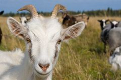 Cheerful goat. Stock Images